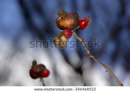 Rosehip berries in the autumn - stock photo