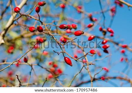 Rosehip berries on the twig, natural autumn seasonal background - stock photo