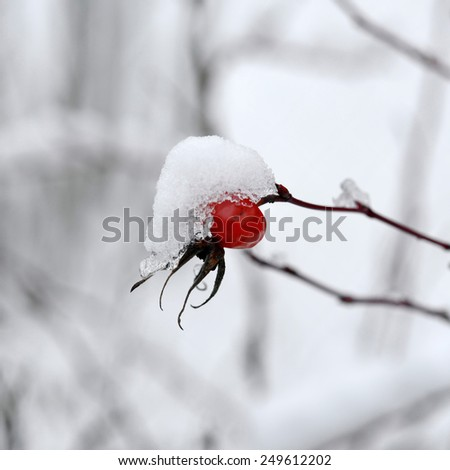 Rosehip branches covered with snow. Winter background. Red berry. - stock photo