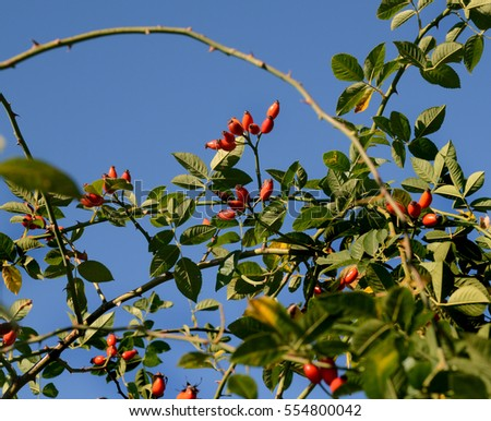 rosehip branches with ripe fruits on a background of blue sky