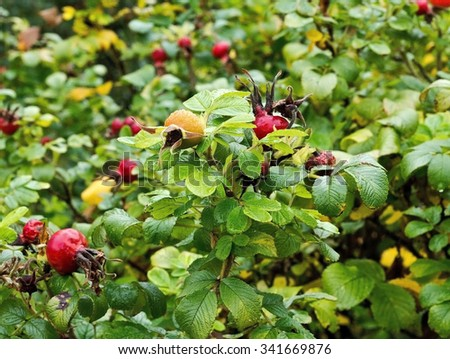 Rosehip bush - stock photo