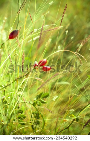 Rosehip close-up in sunny weather, nature, bokeh. - stock photo