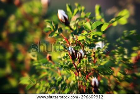 Rosehip flowers. Radial zoom blur effect defocusing filter applied. - stock photo