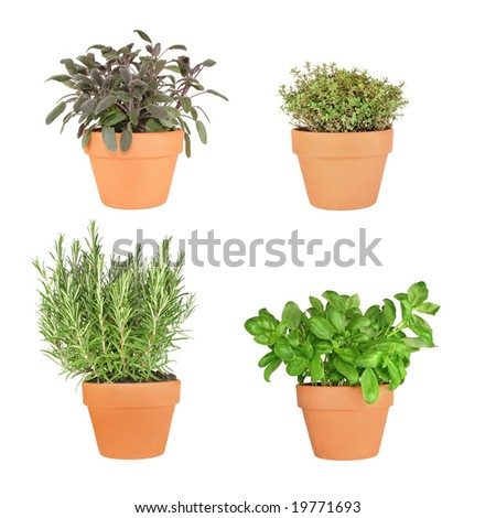 Rosemary, basil, purple sage and silver thyme herbs growing in terracotta pots over white background. From bottom right to top left.