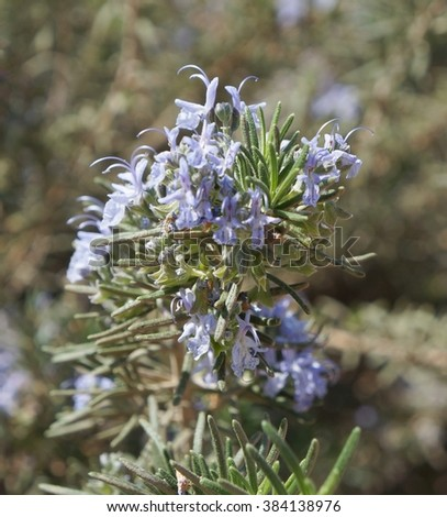 Rosemary blossom, selective focus on the flower