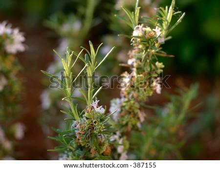 Rosemary bush closeup. - stock photo