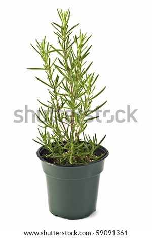 Rosemary growing in a pot isolated on white background in vertical format