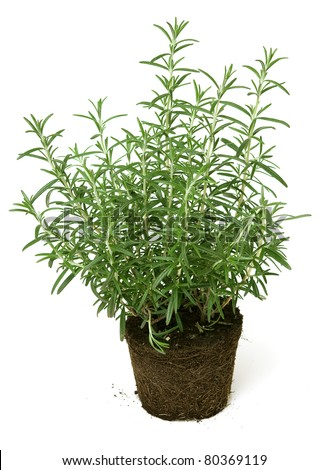 rosemary growing in ground soil on white background