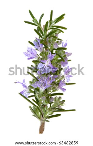 Rosemary herb leaf sprig in flower isolated over white background. - stock photo