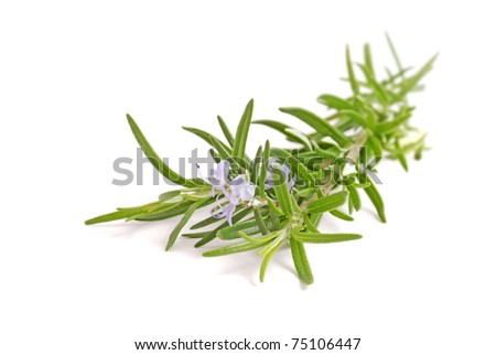 Rosemary herb with flower isolated on white background. - stock photo