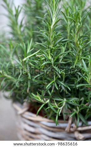 rosemary in a basket - stock photo