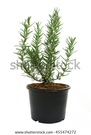 Rosemary in a black plastic pot isolated on a white background