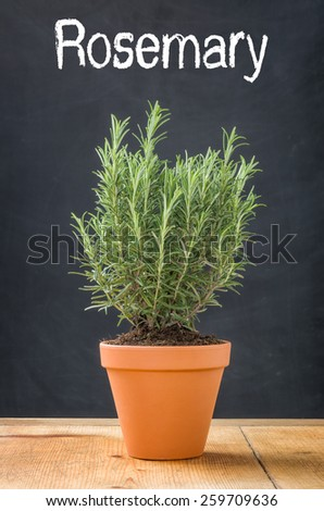 Rosemary in a clay pot on a dark background - stock photo