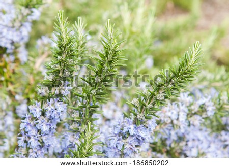 rosemary in flowers  with  blurred background - stock photo