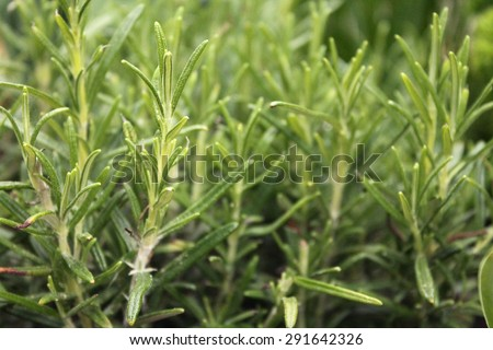 Rosemary leaves close-up (Rosmarinus Officinalis) - stock photo