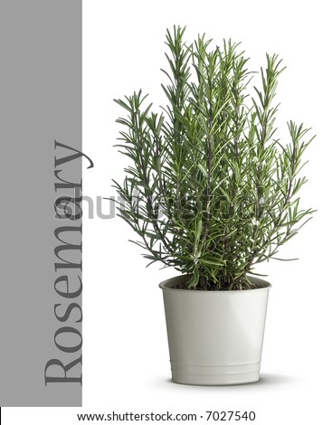 rosemary plant - stock photo