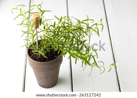 Rosemary plant in  pot with name tag. - stock photo