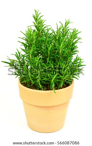 Rosemary Tree in Terracotta Pot on white background. Rosmarinus officinalis isolated.
