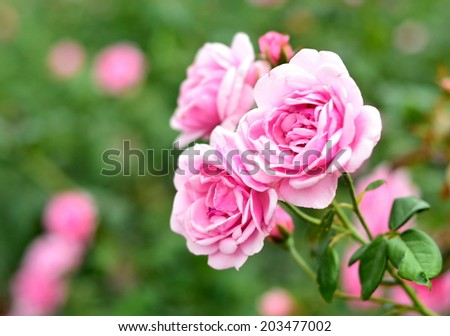Roses are the flowers used to express love in a special session right would like to present a rose to each other - stock photo