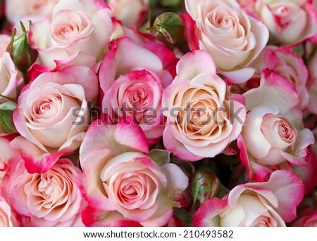 Roses background - stock photo