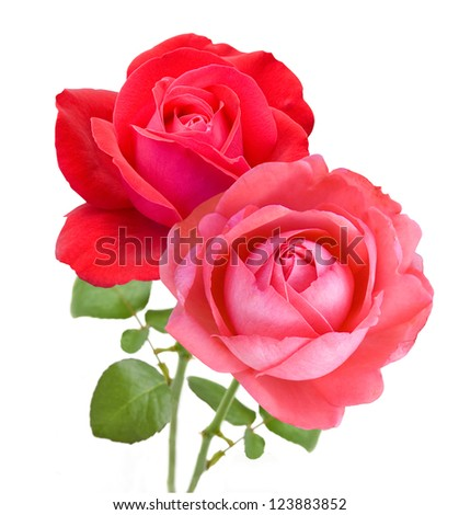 Roses bunch isolated on white background - stock photo