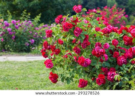 Roses bush on garden landscape - stock photo