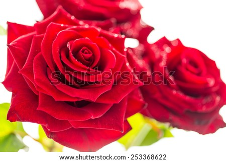 Roses, close up, isolated on white. - stock photo
