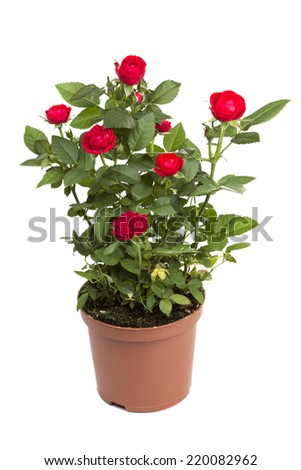 Roses in a flower pot isolated on a white background