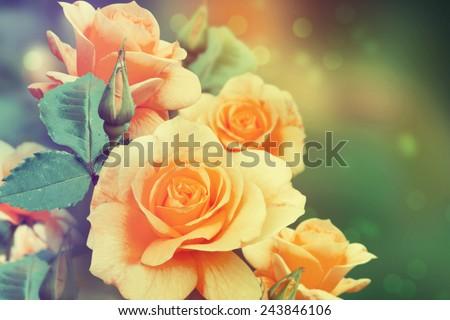 Roses in the garden. - stock photo