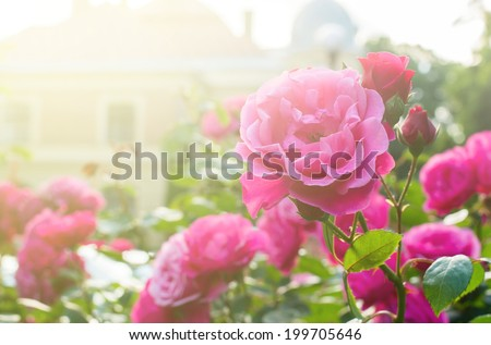 Roses in the garden filtered - stock photo