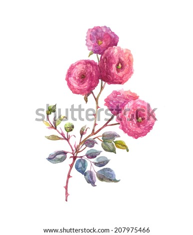 Roses. Watercolor original hand  painting  illustration on paper.