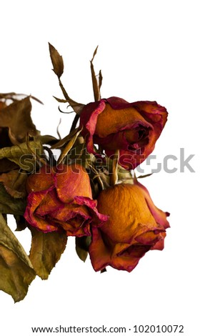 Roses wilt and dry by the time - stock photo