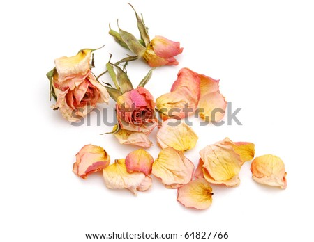 Roses with withered background - stock photo