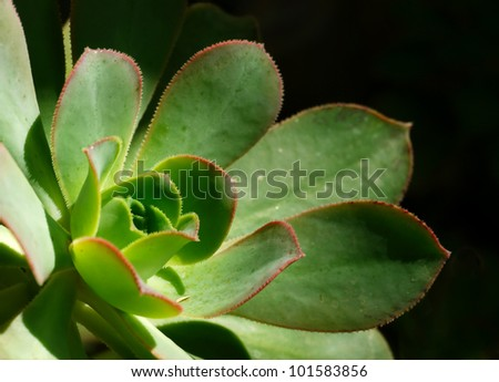 Rosette Leaves of Aeonium Ciliatum-focused on the heart of the plant - stock photo