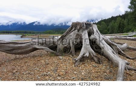 Ross Lake Stump - stock photo