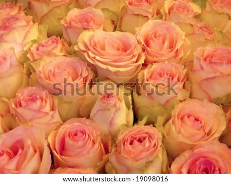 rosy roses background - stock photo