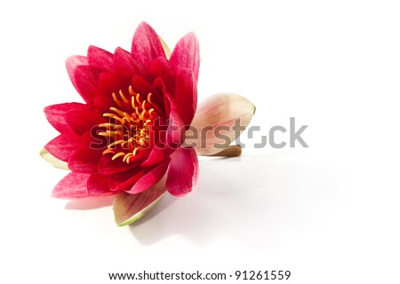 rosy water lily - stock photo
