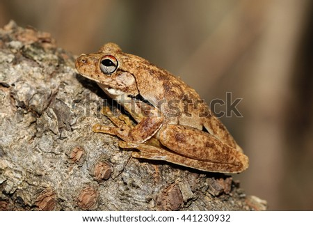 Roth's tree frog or the northern laughing tree frog is a tree frog native to northern Australia and southern Papua New Guinea. Roth's tree frog is a common frog. - stock photo