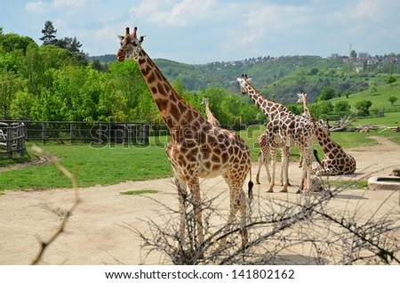 Rothschild giraffe, nature, wildlife