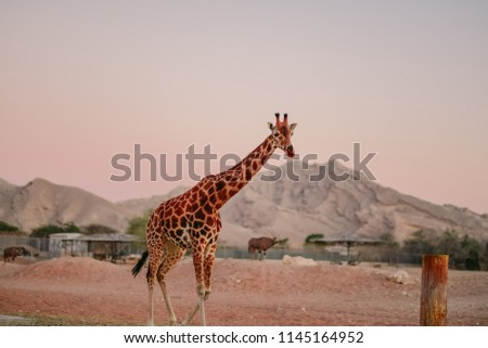 Rothschild's giraffe (Giraffa camelopardalis rothschildi) is a subspecies of the giraffe. It is one of the most endangered distinct populations of giraffe, with 1671 individuals estimated in the wild.