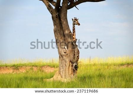 Rothschild's giraffe hiding behind tree at Murchison Falls National Park in Uganda - stock photo