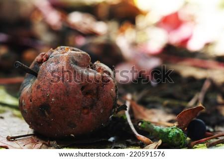 Rotten apple, autumn, moldy fruit - stock photo