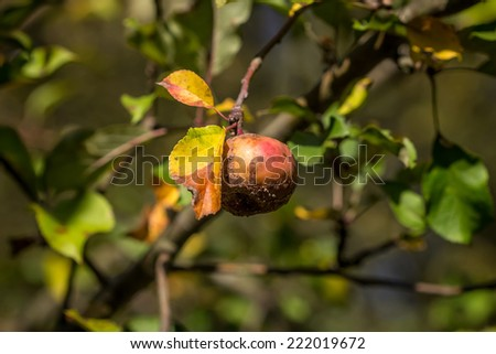 Rotten apple lying in the woods - stock photo