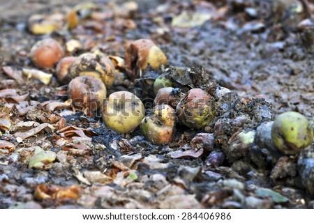 Rotten apples on the ground - stock photo