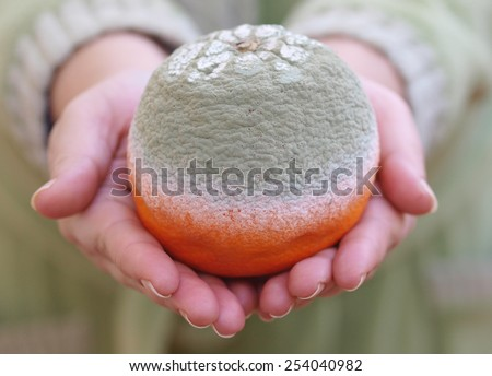 Rotten orange in holding hands in a close up shot - stock photo