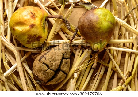 rotten pears on straw - stock photo