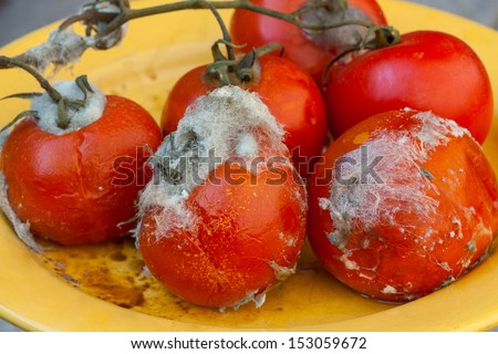 Rotten tomatoes on vine with white mold - stock photo