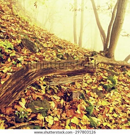 Rotten trunk in golden autumn forest, tourist stony footpath.  Broken tree.  - stock photo