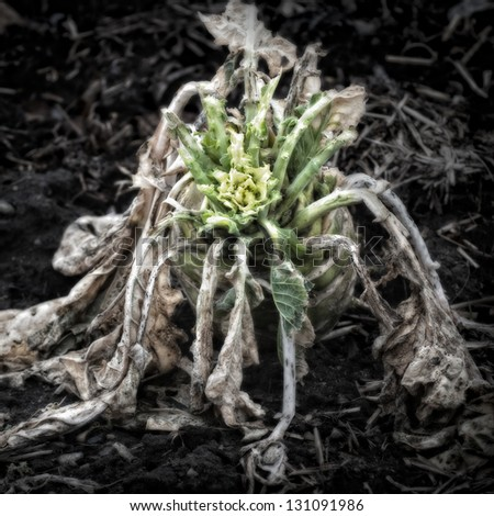 Rotting Kohlrabi on the garden soil/Artistically alienated to create a grungy somber atmosphere. - stock photo