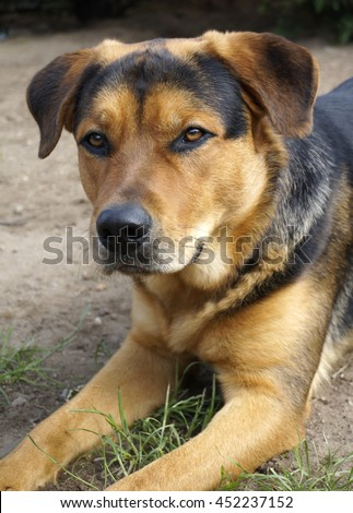 Rottweiler Alsatian Mix lying down - stock photo